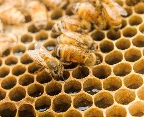 Honigbienen auf Waben