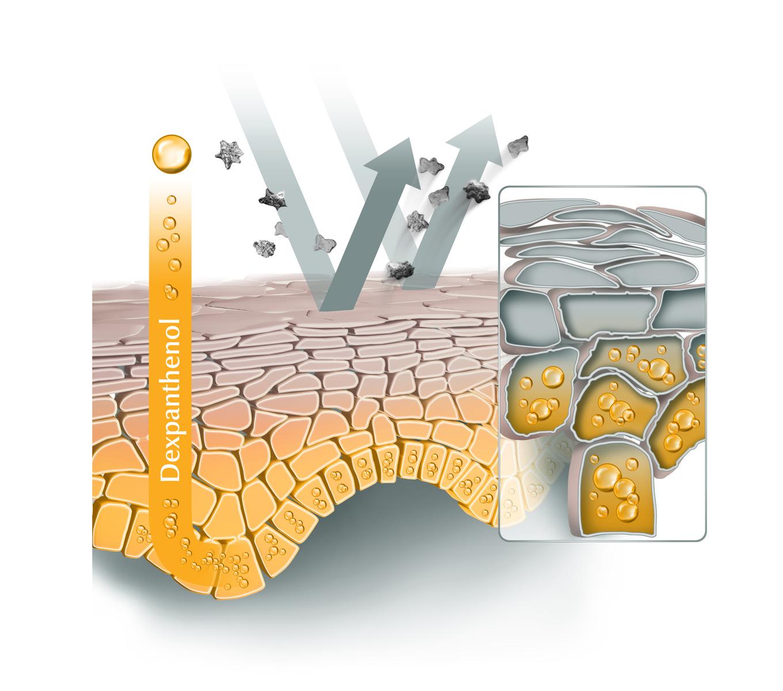 Abbildung Hautquerschnitt mit ph5