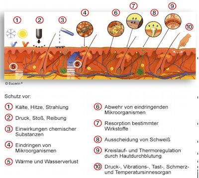 Die Haut schützt den Körper vor thermischen, mechanischen, chemischen und biologischen Einwirkungen