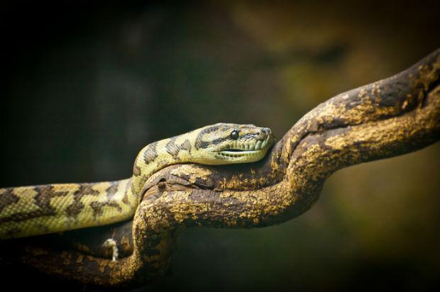 Lachesis - Gift der Buschmeisterschlange