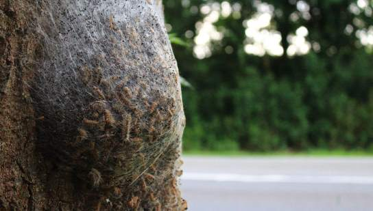 Ein Gespinst von Eichenprozessionsspinnern am Baum